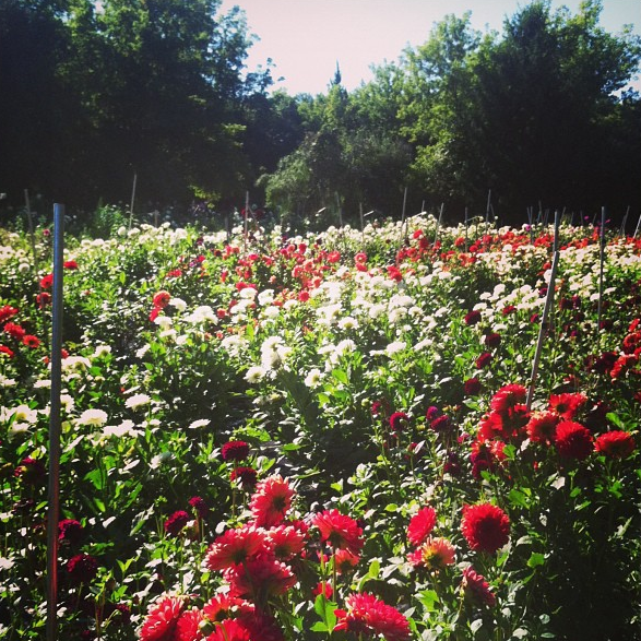 This is what 1,200 dahlia plants in full bloom look like.