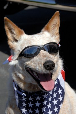 3399105-pound-rescued-all-american-dog-wearing-american-flag-bandana-and-sun-glasses-ready-for-the-july-4th-.jpg