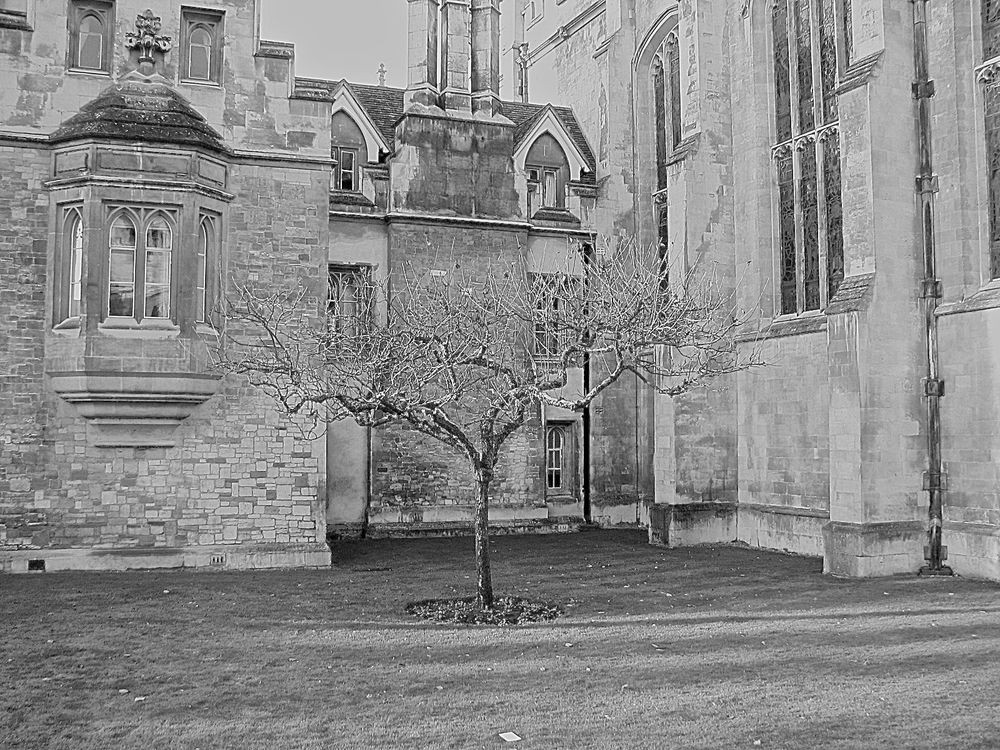 "Descendant of ""Isaac's tree"", Trinity College"