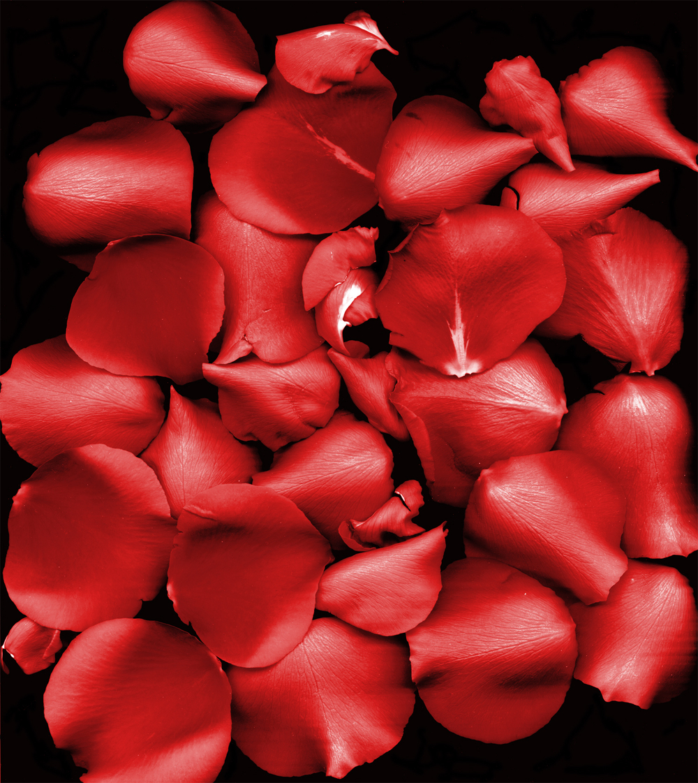 Rose_Petals_portrait.jpg