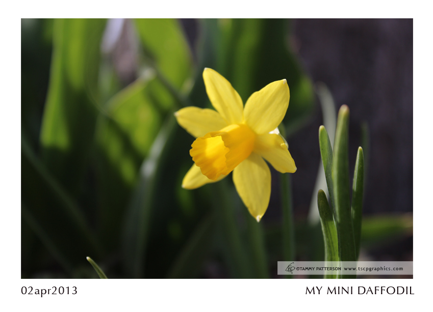 My Mini Daffodil_02apr2013web.jpg