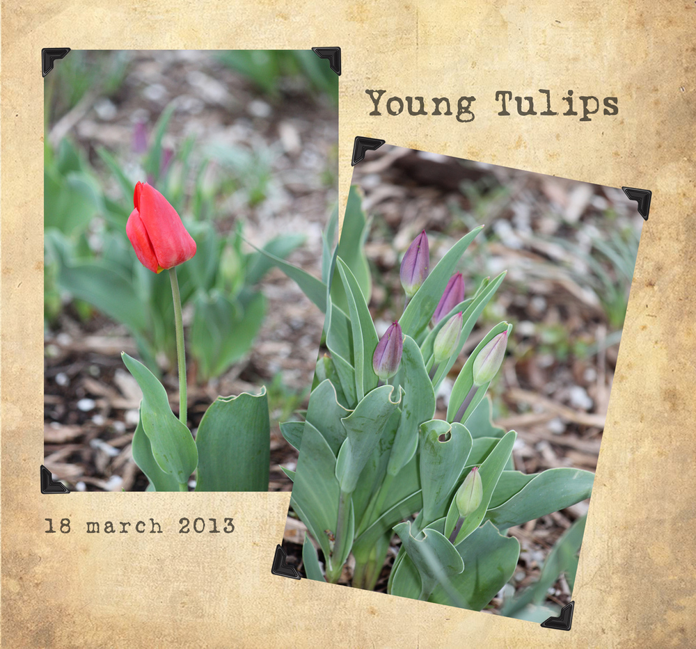 YoungTulips_april2013_WEB.jpg