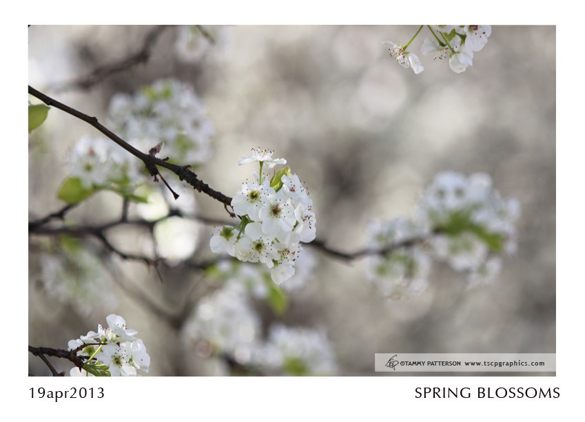 SpringBlossoms_19apr2013web.jpg