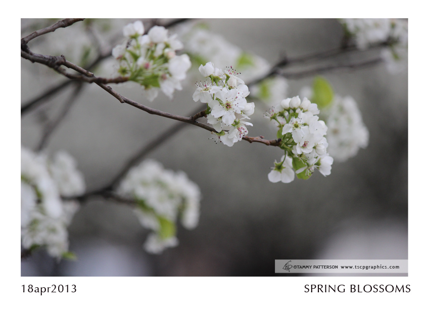 SpringBlossoms_18apr2013web.jpg