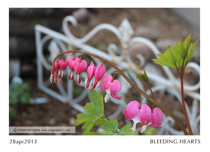 BLEEDING HEARTS_28apr2013web.jpg