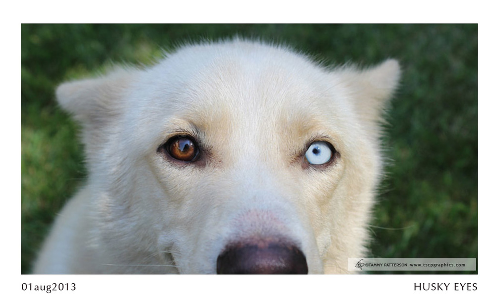 HUSKY EYES_01aug2013web.jpg