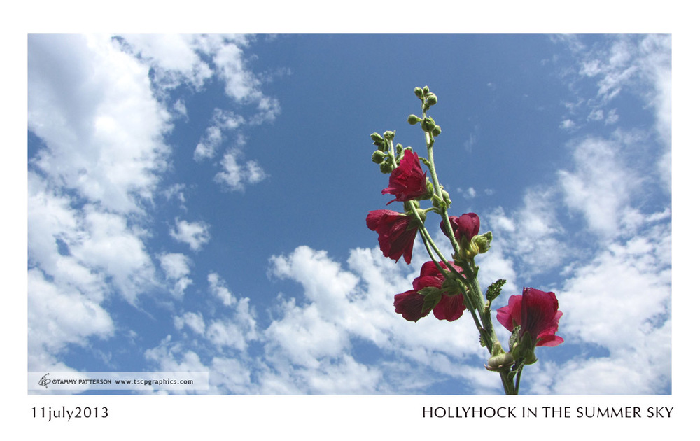 HOLLYHOCK_11july2013web.jpg