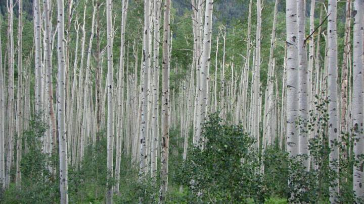 EDGE OF ASPEN, PHOTOGRAPH