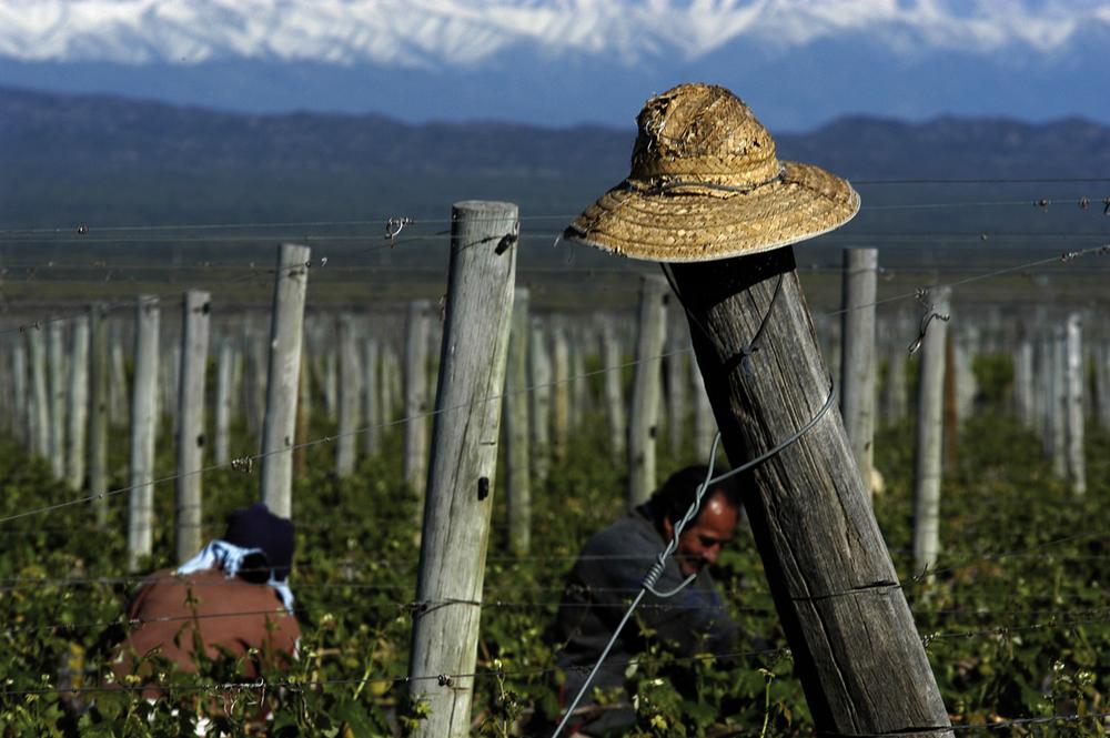 Foto:  www.pulentaestate.com .  En Pulenta Estate, como en la mayoría de las bodegas con las que trabaja el Club de vinos Decanter, parte de la recolección de la uva se hace a mano.