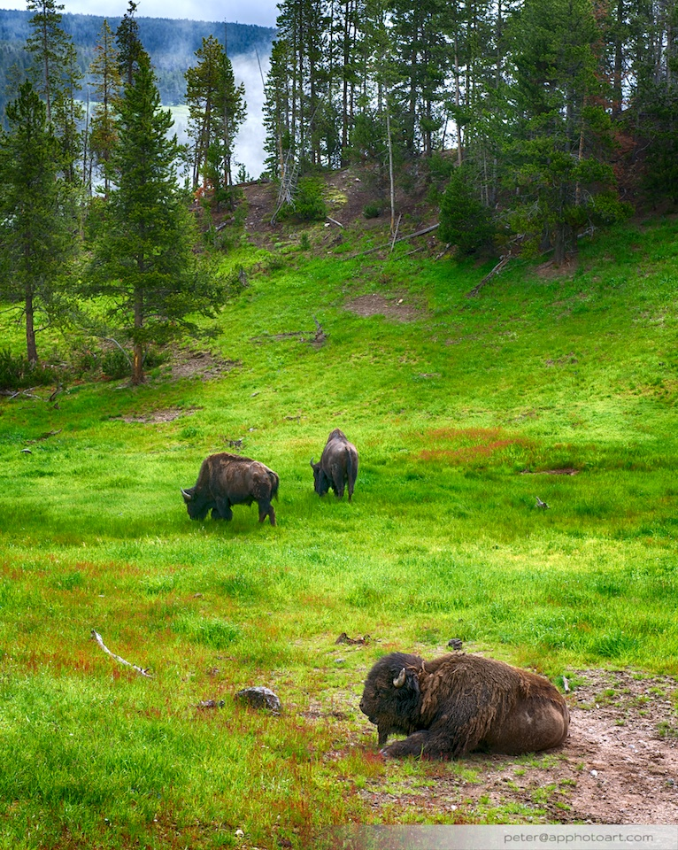 Canyon - Grazing bisons