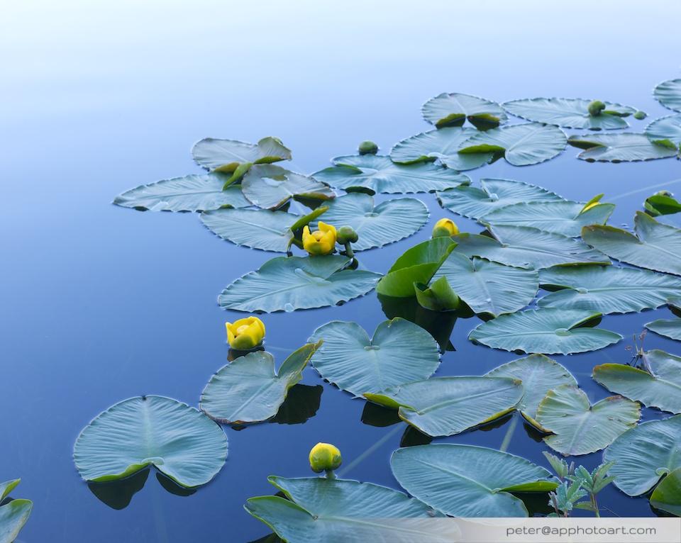 Twin Lakes - Yellow lilies