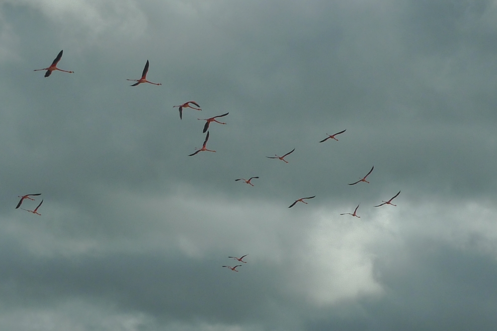 flamingos flying.jpg