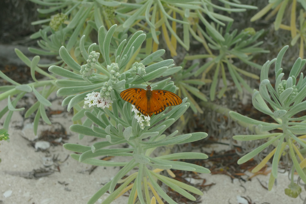orange butterfly on succulent.jpg