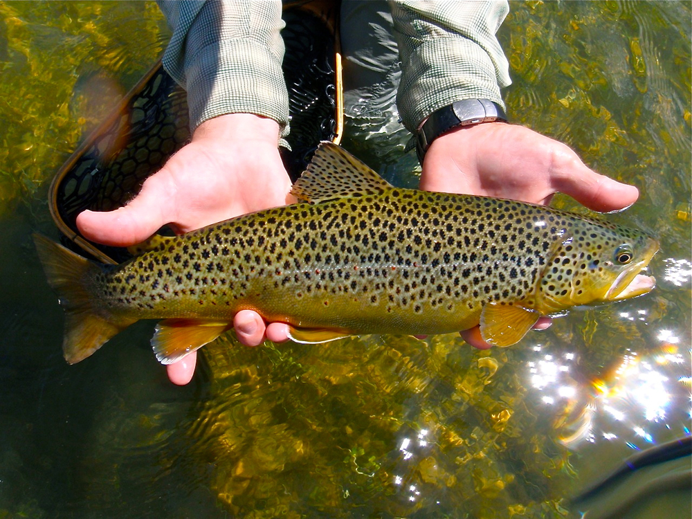 middle-provo-brown-trout-fly-fishing-utah.jpg