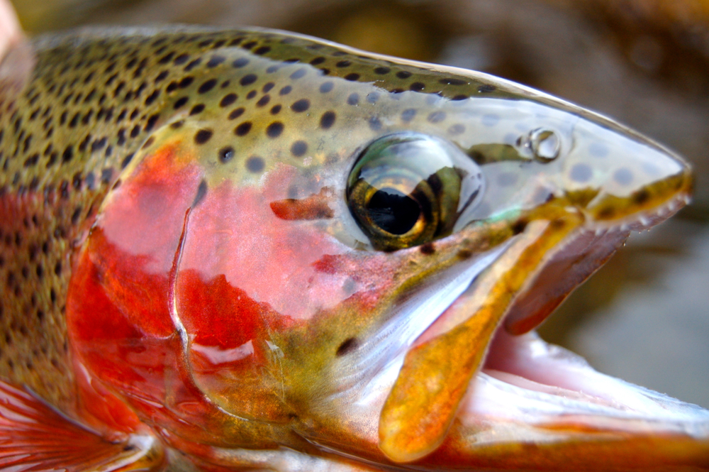 rainbow trout, Green River, Utah