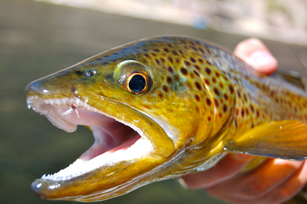 brown trout caught with blue winged olive, Green River, Utah