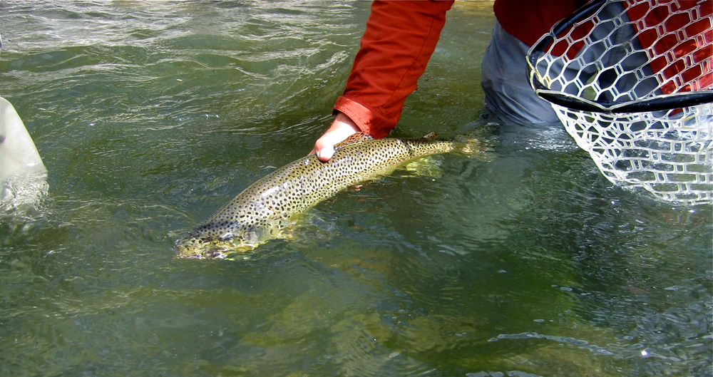 release of a brown trout, fly fishing in Utah