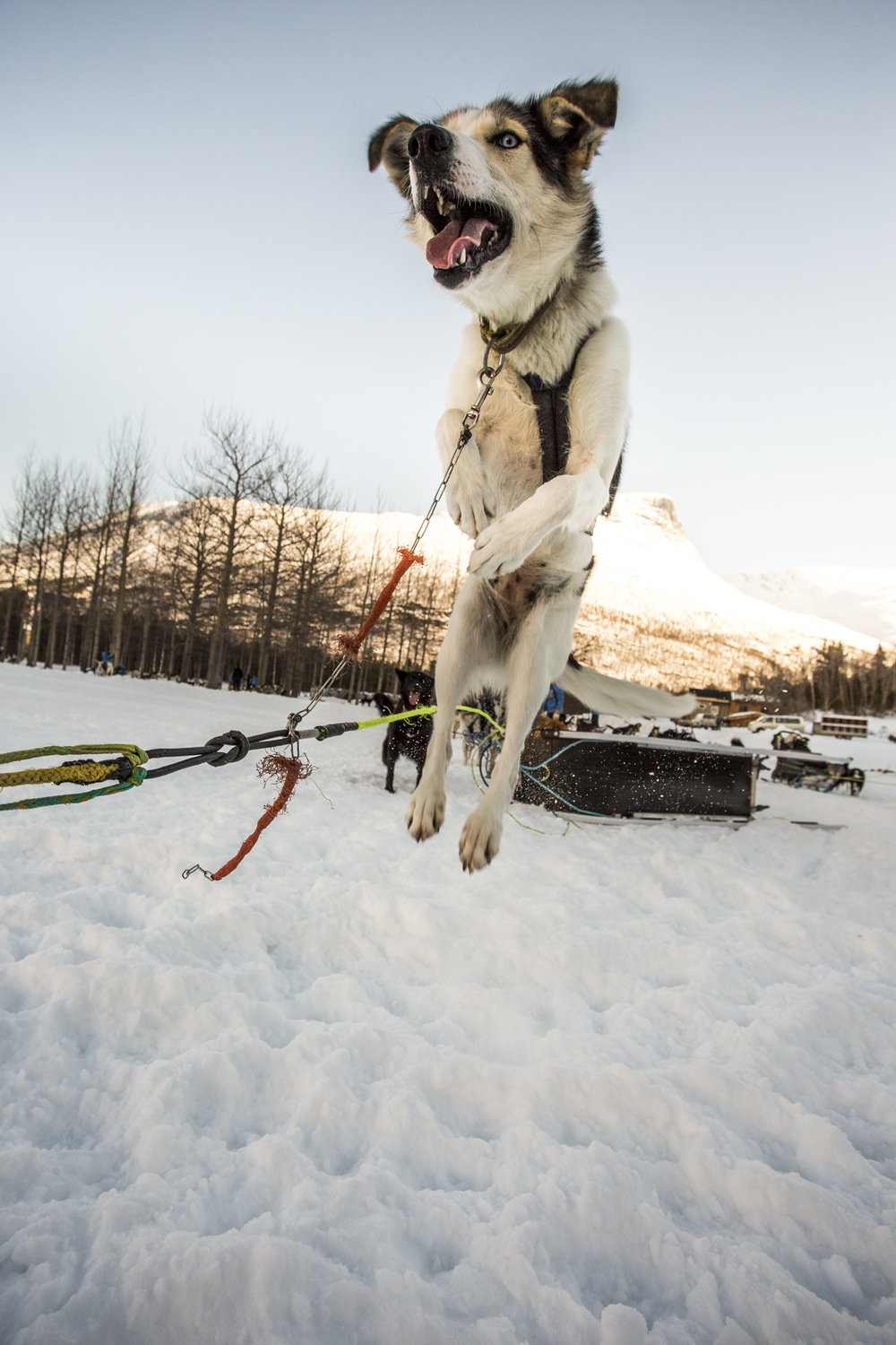 It's only 7:00 a.m. on Day 3 of Fjällräven Polar, but the dogs are already raring to go. (Photo by Håkan Wike for Fjällräven International. All rights reserved.)