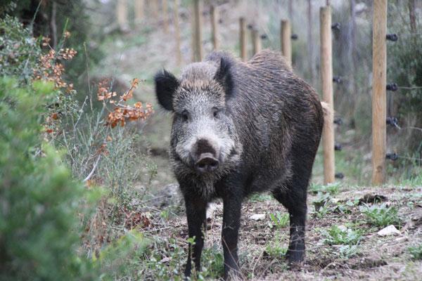 boar_1629.jpg