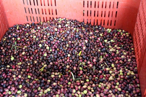 olives_1828.jpg