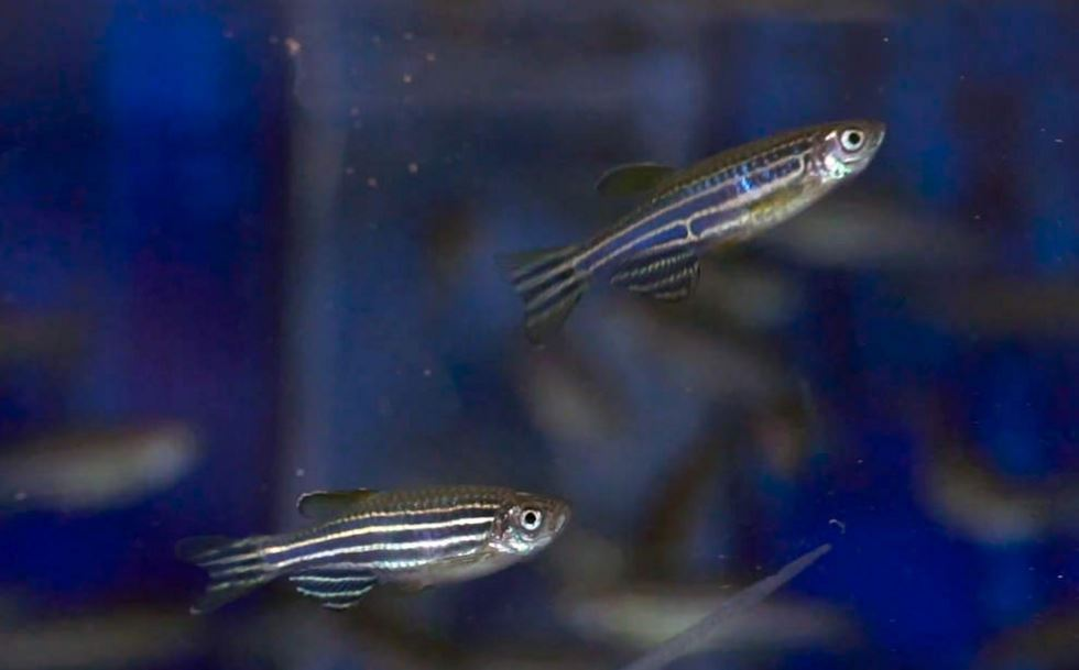 Zebrafish allow University of Oregon researchers to quickly produce and identify mutations that let them decode the function of genes. (University of Oregon)