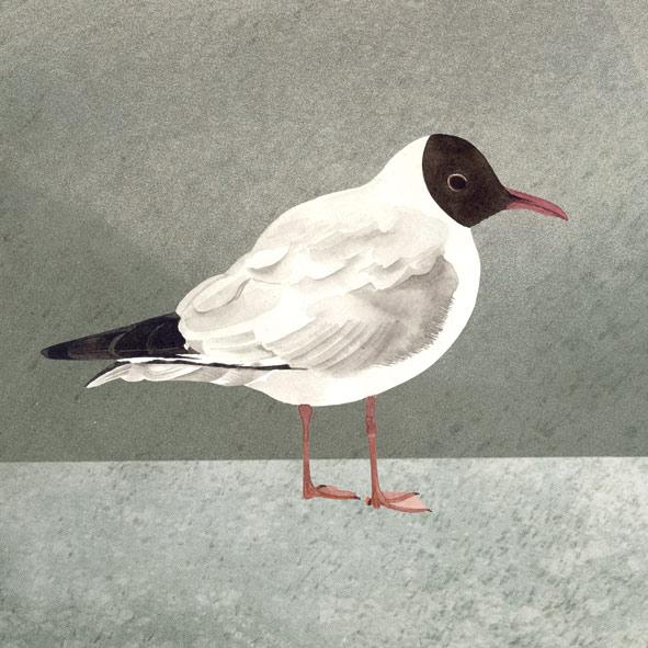 black-h-gull.jpg