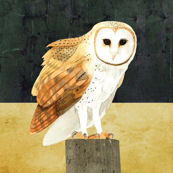 Barn Owl © Francesca Chalk