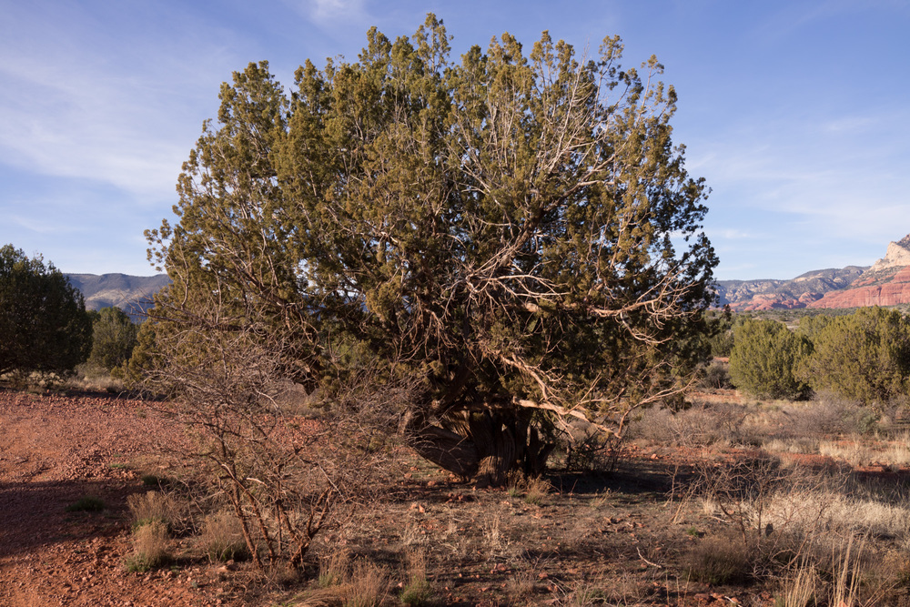 400 year old Juniper tree