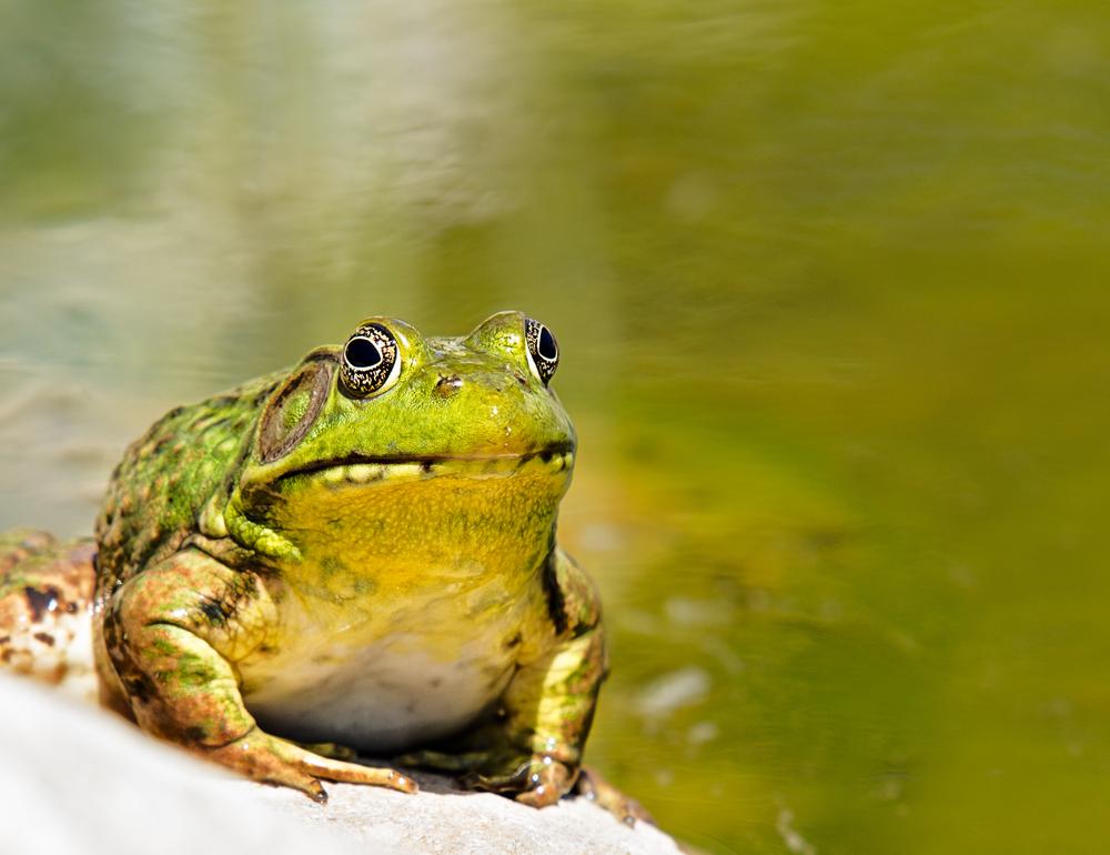ss_Frogs_2013-05-04_-71-Edit.jpg