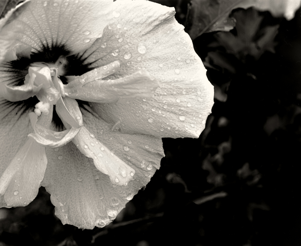 2013-09-01_flower_by_afrer_rain_4x5_2400dpi_merged_003.jpg