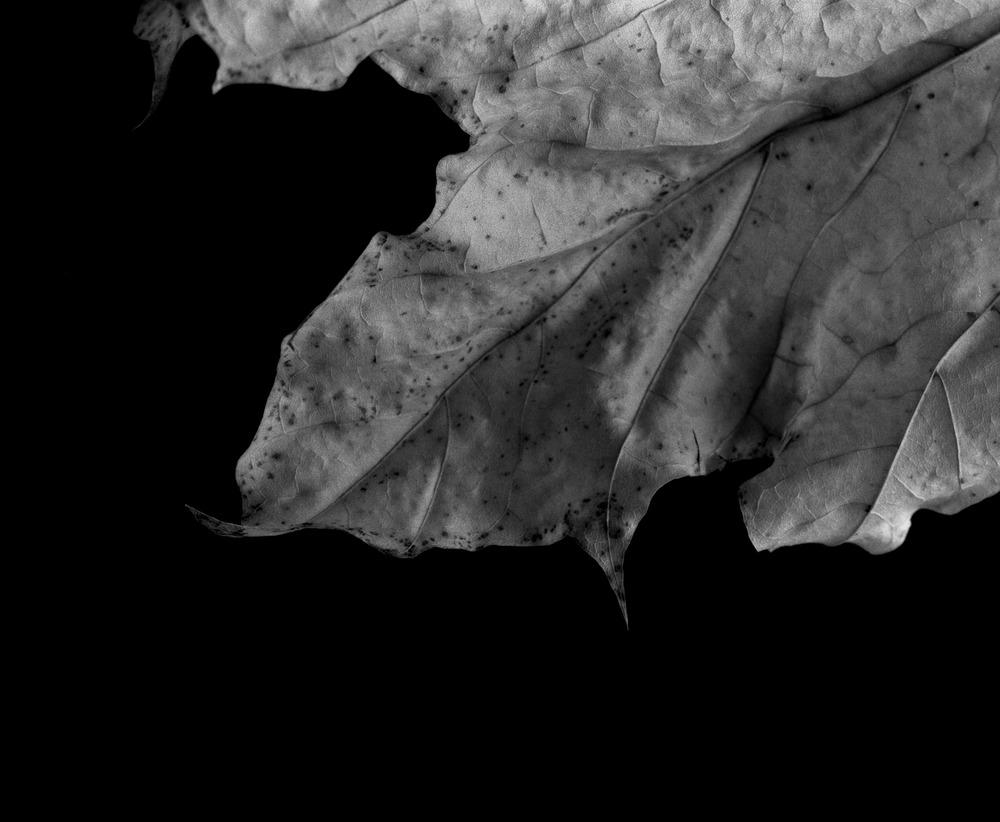 Leaves_2013-11-03_4x5_2400dpi_001_full.jpg