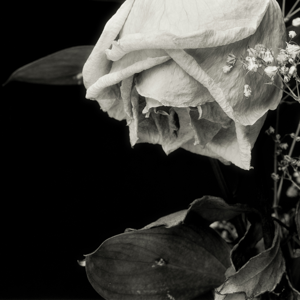 White_Rose_2013-12-02_4x5_2400dpi_001_full-Edit.jpg