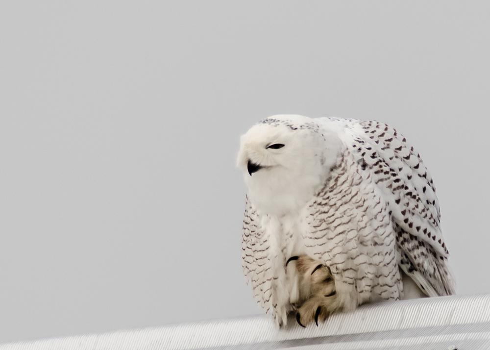 New_Holland_Snowy_Owl_2014-01-01_-14.jpg