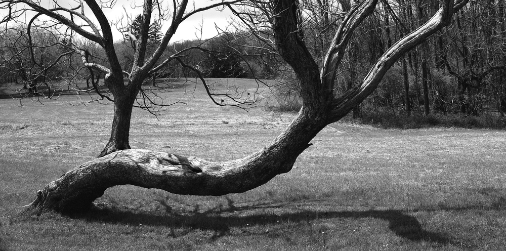 4x5_for_365_project_0128_Hopewell_Village_bent_tree.png