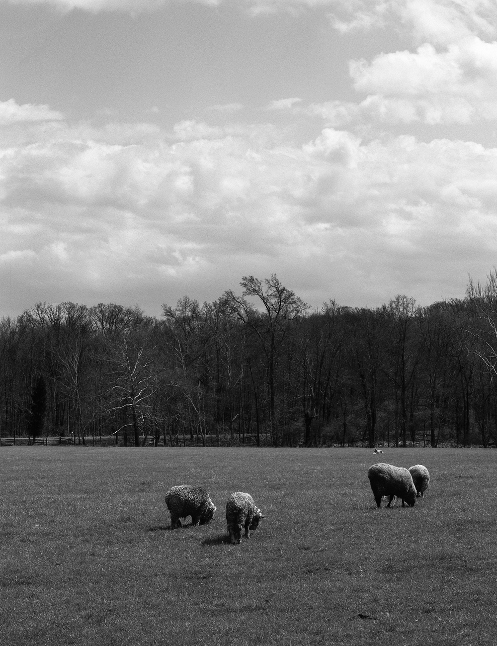 4x5_for_365_project_0129_Hopewell_Village_sheep.png