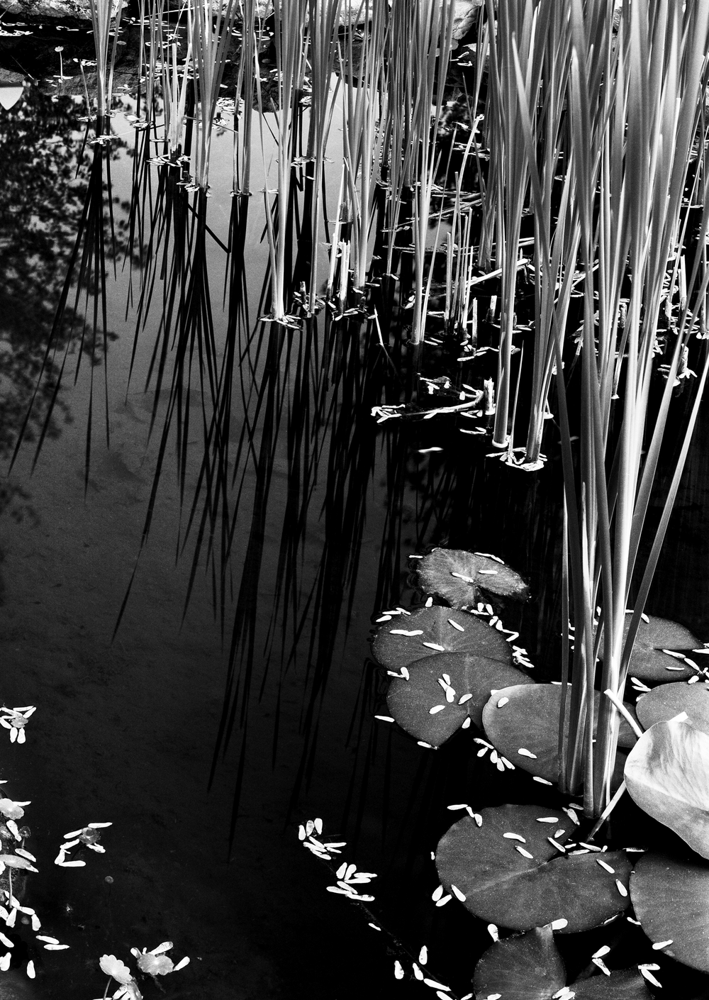 4x5_for_365_project_0139_Pond_cattails.png