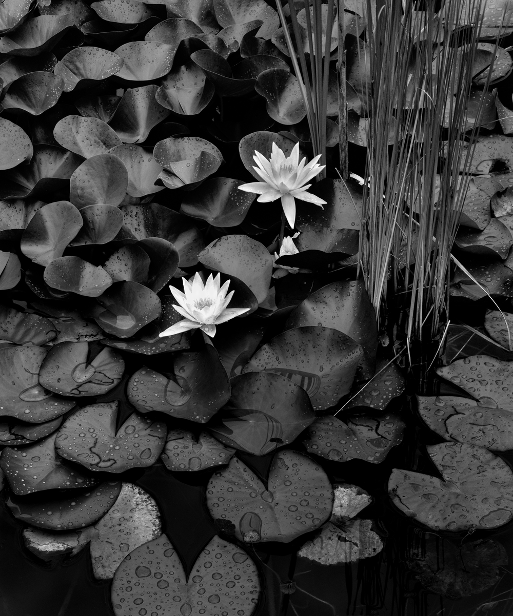4x5_for_365_project_0186_Backyard_pond_lillys_post_rain.png