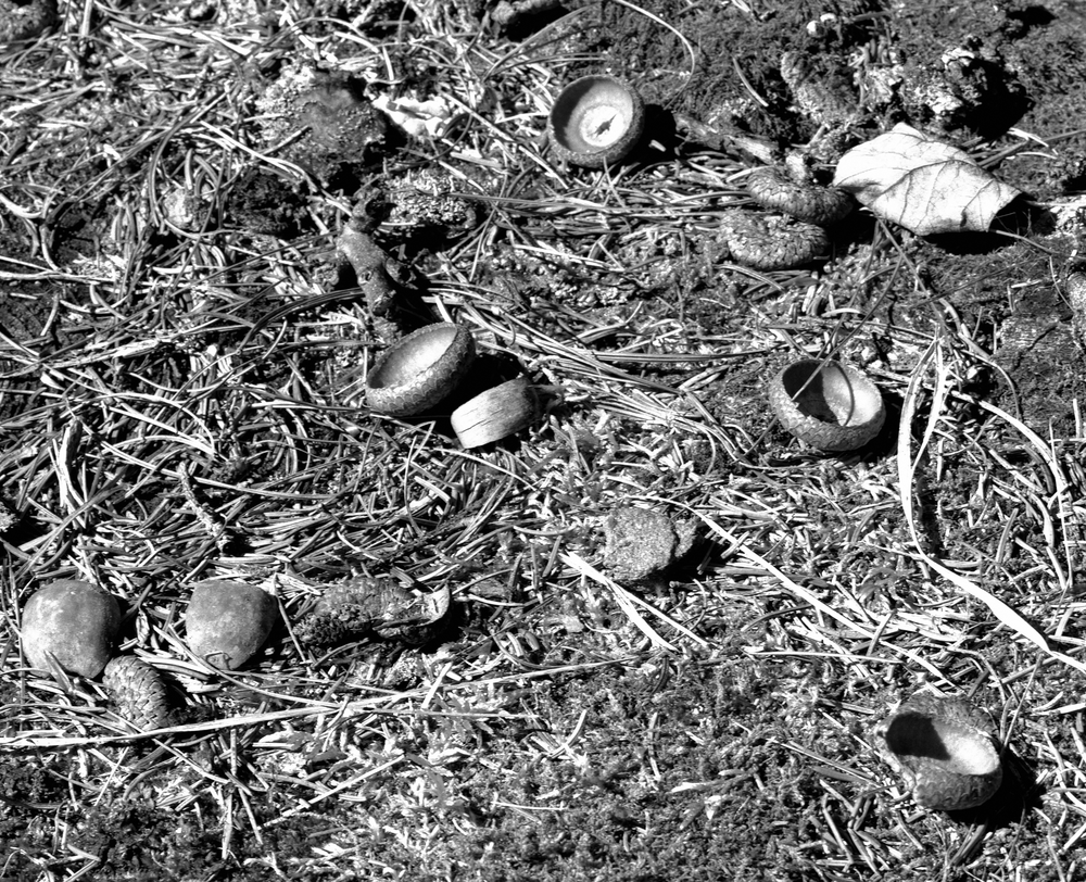 4x5_for_365_project_0283_promised_land_sp_acorns_on_stump.png