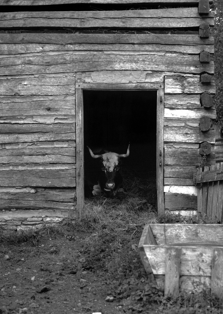 4x5_for_365_project_0286_LandisValley_Steer_in_Barn.png