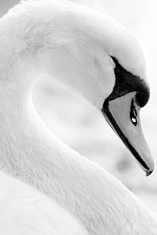 Sleeping-Swan.jpg