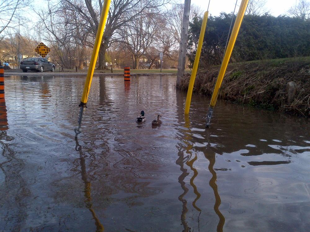 Ducks on McKellar