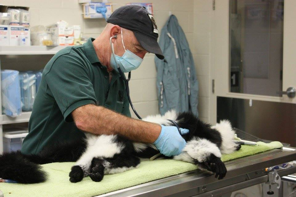 Dr. Michael Cranfield examines a lemur
