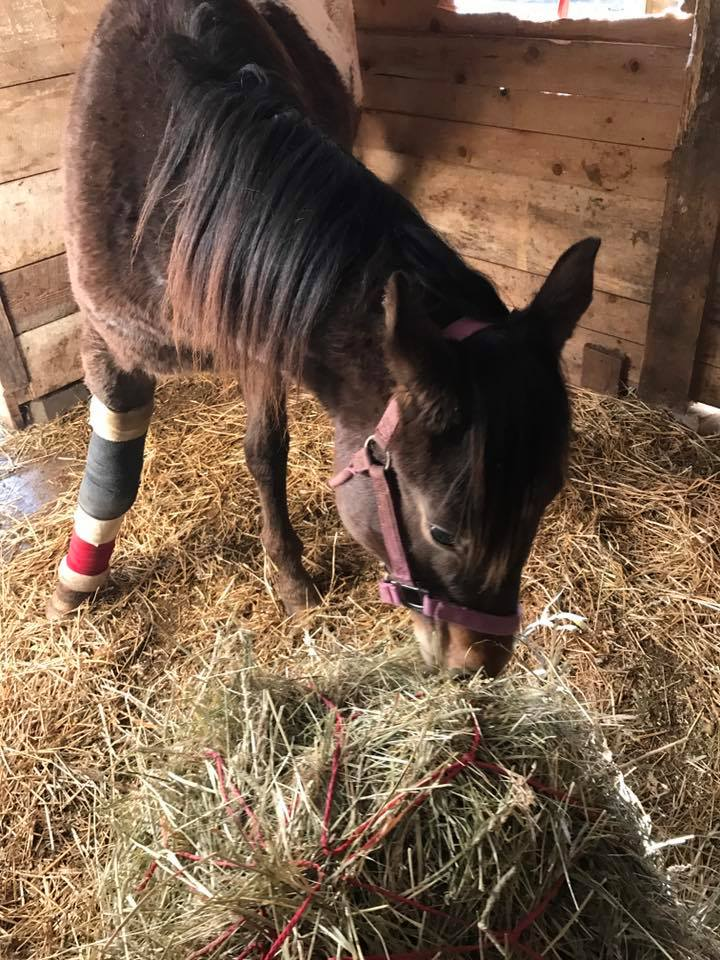 Indy stitched up, and safe in her stall