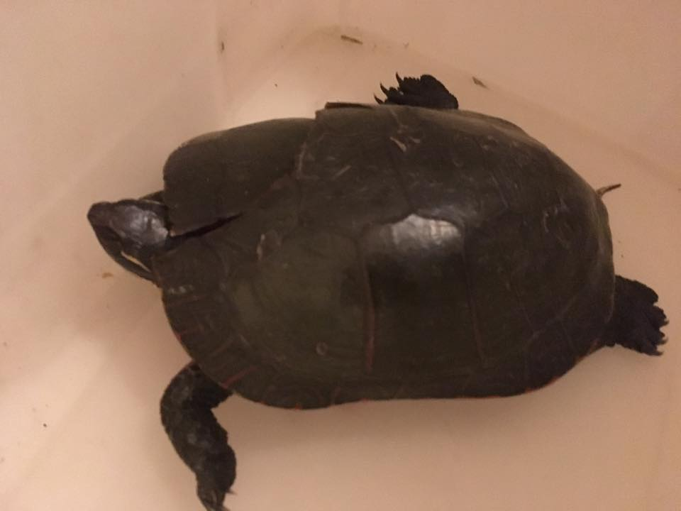 Injured turtle brought in