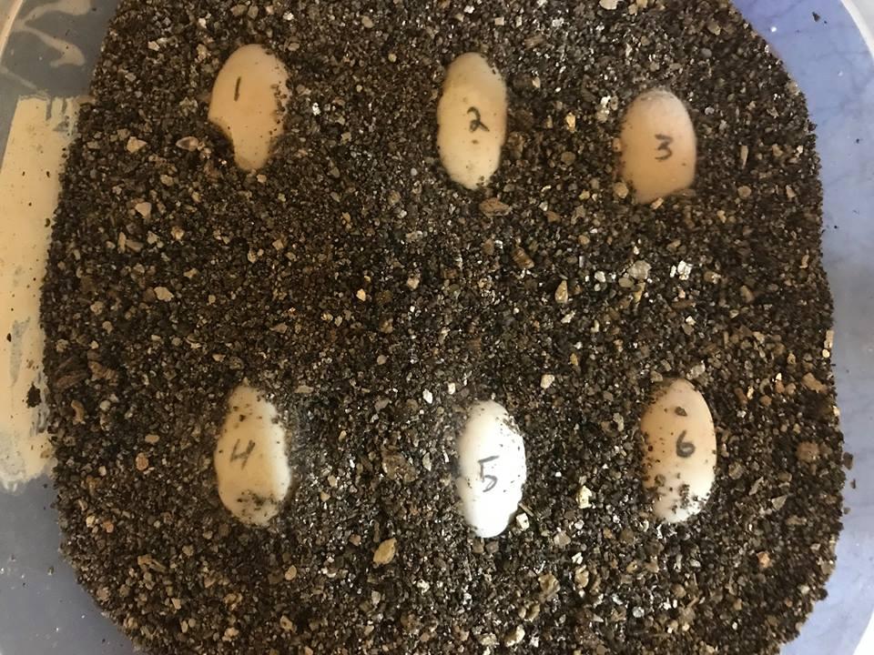 Blanding's turtle eggs