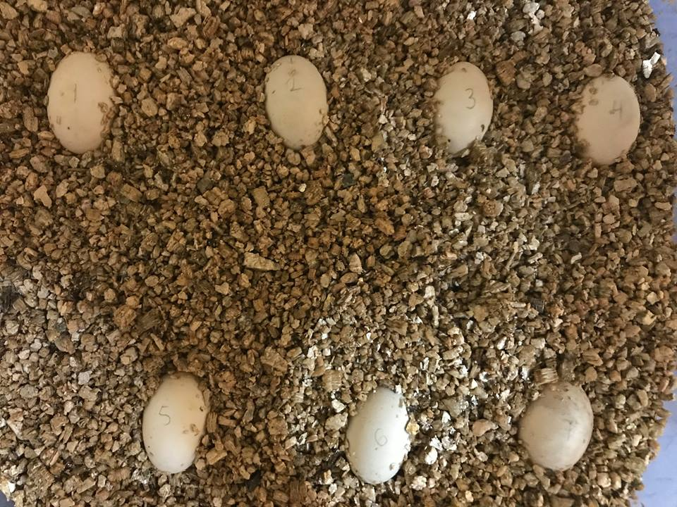 Painted turtle eggs