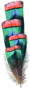 Plume_de_Dindon_ocellé_(Millot-1907).png