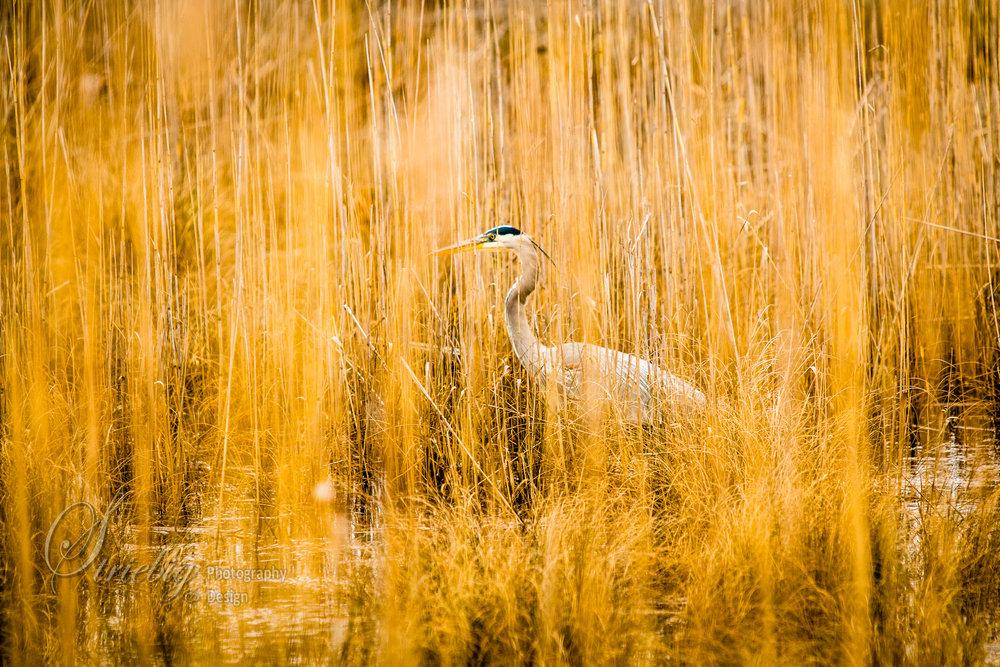 Great Blue Heron in marshland near the Chesapeake Bay