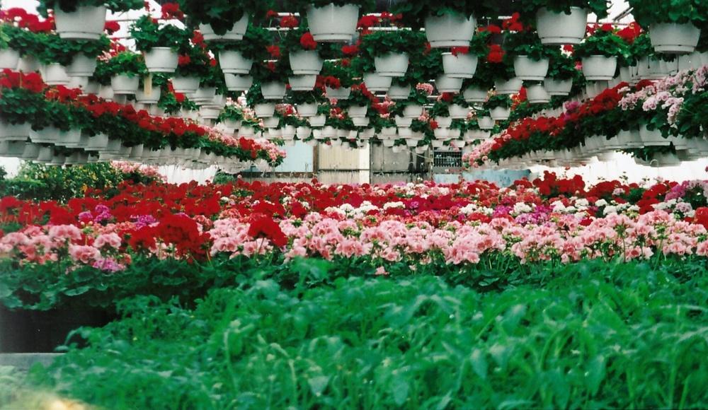 Geranium greenhouse, 2000