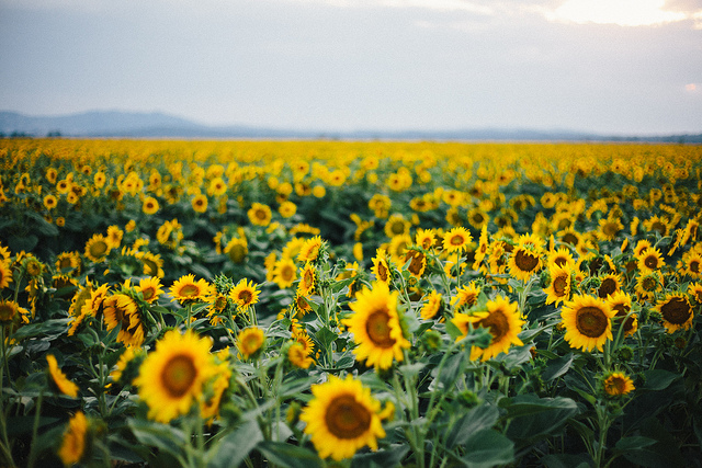 Sunflowers on Flickr.